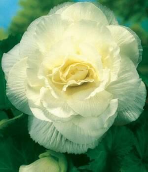 Begonia Double White p004