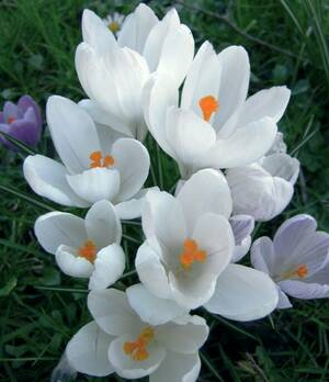Crocus Large flowering Jeanne D'Arc j604