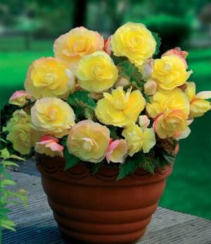 Begonia Double superba yellow p008