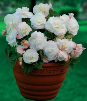 Begonia Double superba white p009