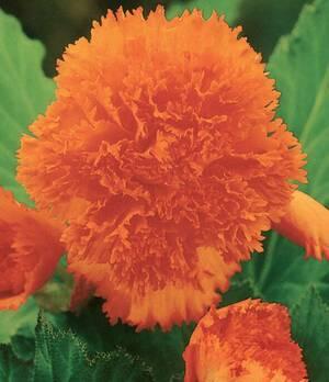 Begonia Fimbriata Orange p012