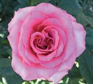 Sad.ruža *10 čajevka queen elizabeth - roza