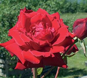 Sad.ruža *23 puzavica fountain - crvena