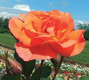 Sad.ruža *24 puzavica westerlend - narandžasta
