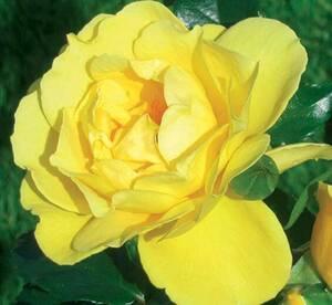 Sad.ruža *25 puzavica dukat - žuta