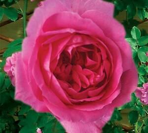 Sad.ruža *39 puzavica parada - roza
