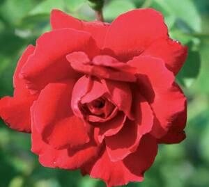 Sad.ruža *40 puzavica sympathy - crvena