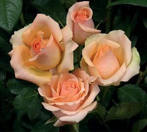 Sad.ruža *42 čajevka versilia - kajsija