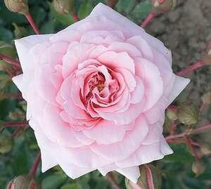 Ruža stablašica  *47 DIADEM-roza