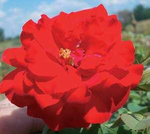 Ruža stablašica *48 SATCHMO-crvena